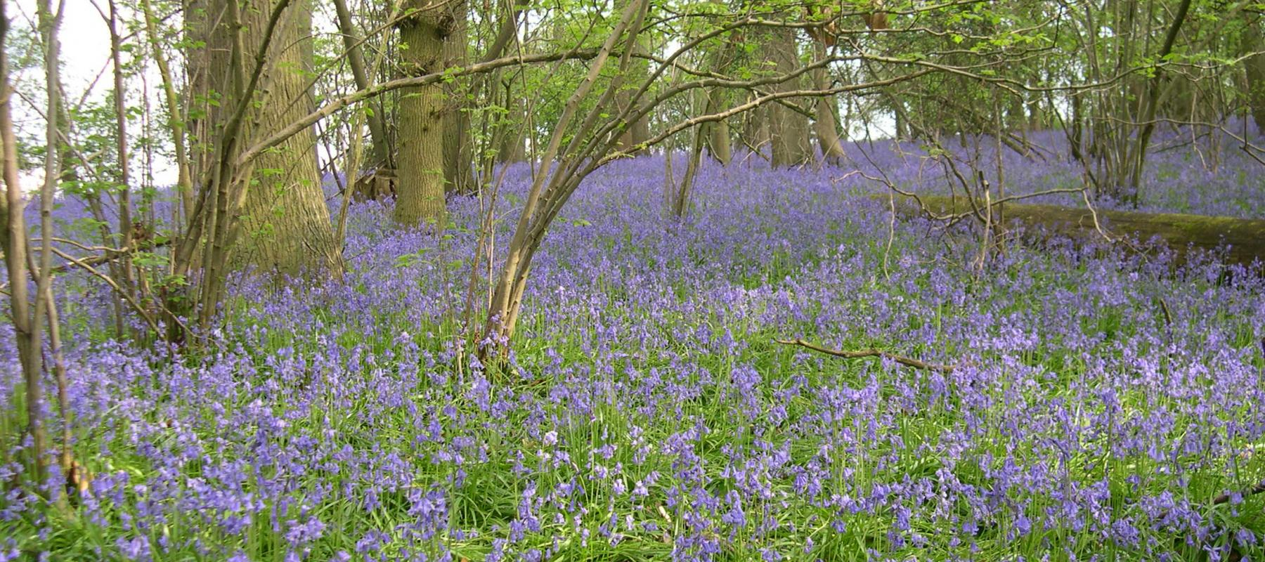 Bluebells at National Trust Hatchlands Park