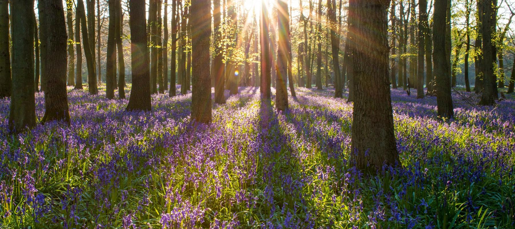 See the Bluebells with days out by rail, things to do in High Weald AONB