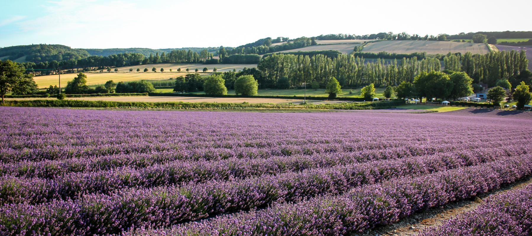 Lavender Fields. Photo: Sarah Newman