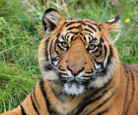 Sumatran Tiger. Photo: Shepreth Wildlife Park