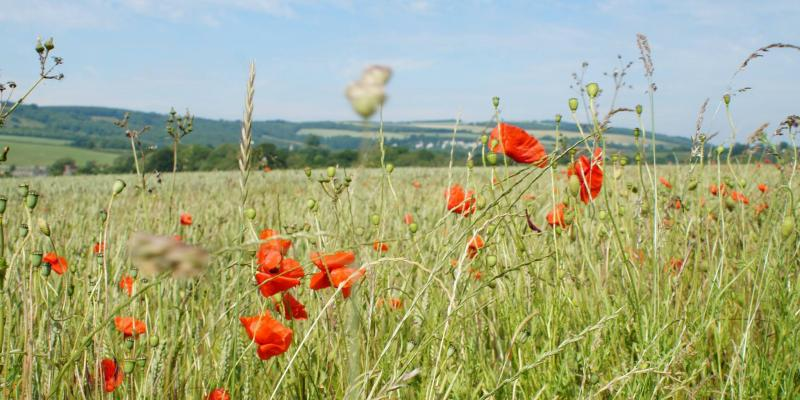 Poppy fields in the Arun Valley